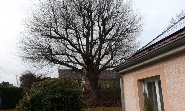 Le Chêne plus que centenaire au départ