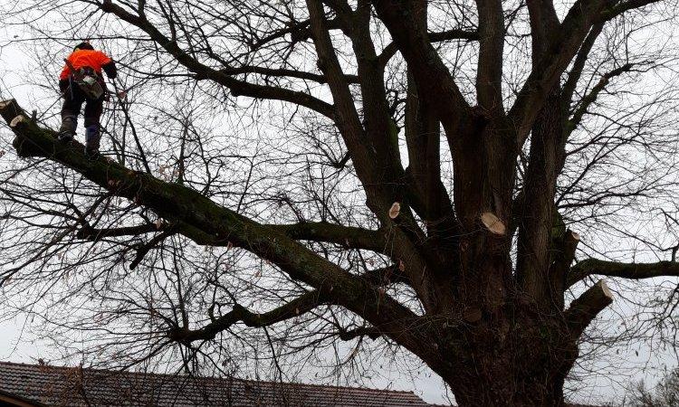 Le Chêne pendant les travaux d'élagage
