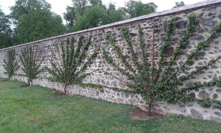 Création jardin , palissage d'Abricotiers en 'Soleil' environ de Bourbon-Lancy